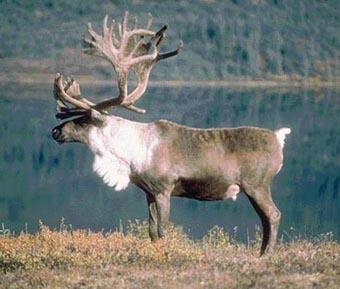 纽约州测试用UHF标签标识驯鹿